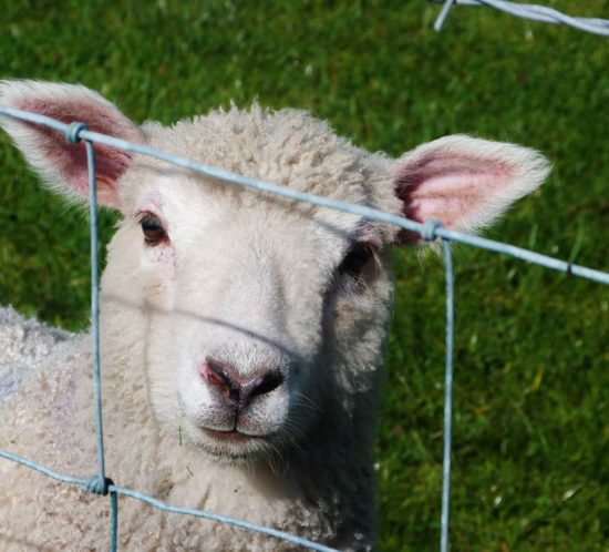 A Lamb in a field behind a wire fence - Rockland Insurance Brokers
